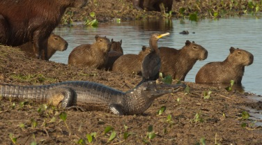 Brazil 'Wildlife of the Mato Grosso'