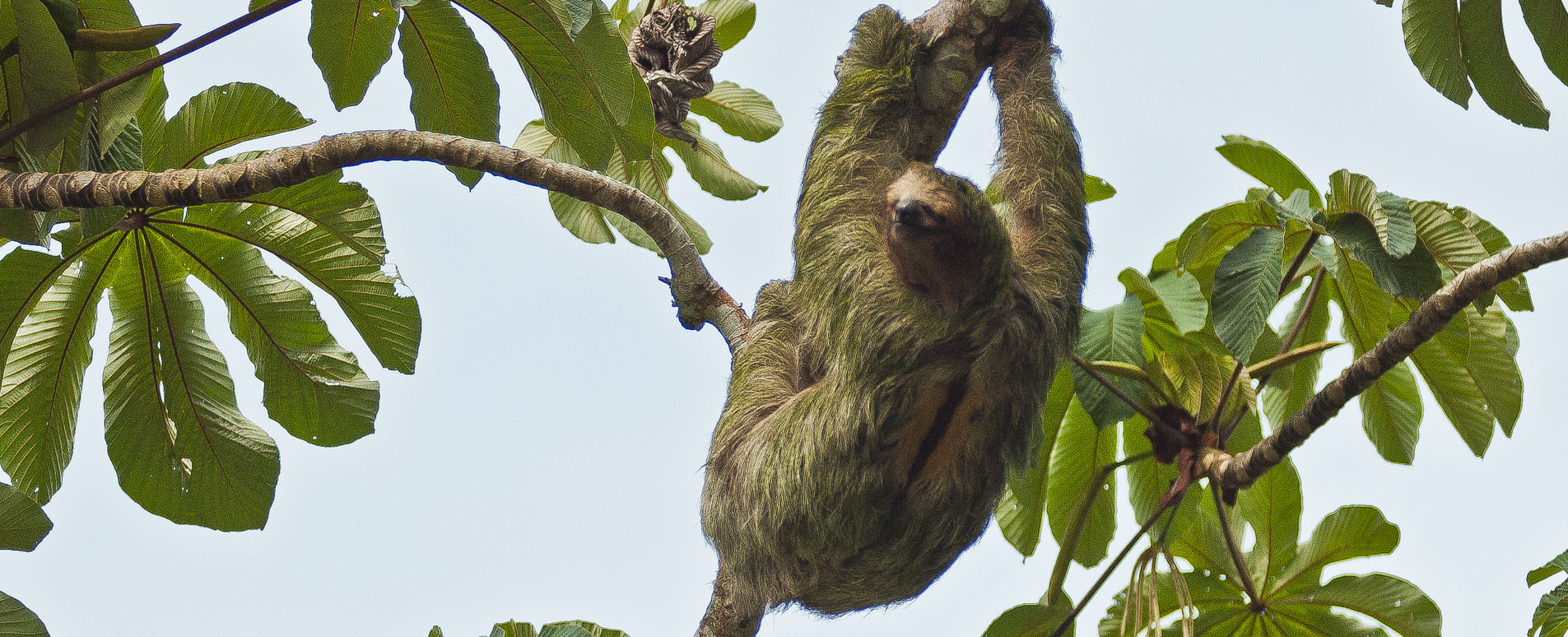 costa rica wildlife sloths