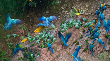 Peru 'The Birds of Tambopata'