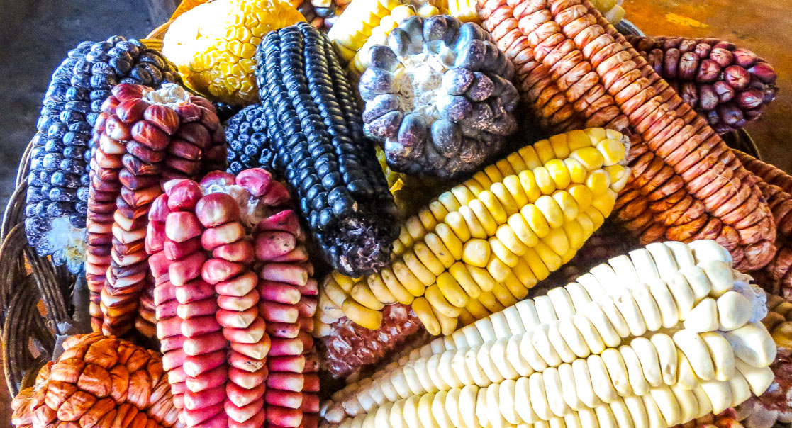 A basket of maize cobs in the market, Cusco